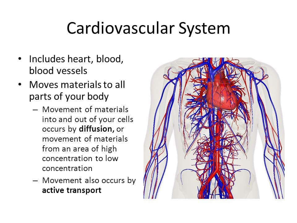 the cardiovascular system and its functions